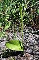 PNBT Ophioglossum vulgatum pokrój 03.07.10 p.jpg