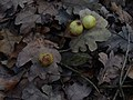 PP Lítožnice - hálka na listech dubů v severní části chráněného území (2).jpg