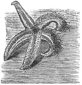 PSM V27 D380 Natural righting movements of common starfish.jpg