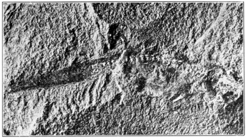 PSM V72 D569 Micrerpeton caudatum moodie from the carboniferous of mazon creek.png