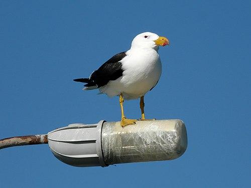 Pacific Gull Esperance.jpg
