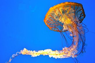 Chrysaora fuscescens - Pacific Sea Nettle
