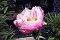 Paeonia lactiflora Abalone Pearl 0zz.jpg