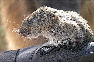 Montane vole species of mammal
