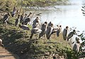 Painted Storks- Mainly Immatures I IMG 8537.jpg