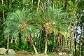 Palma robelina (Phoenix roebelenii) (14559300376).jpg