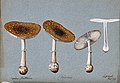 Panther cap fungus (Amanita pantherina); four fruiting bodie Wellcome V0043343.jpg