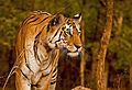 Panthera Tigris(Tigress) Collerwali Pench.jpg