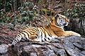 Panthera tigris kristiansand dyrepark IMG 4044.JPG