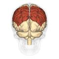 Parietal lobe - posterior view.png