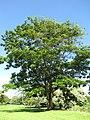 Parkia timoriana 1.jpg