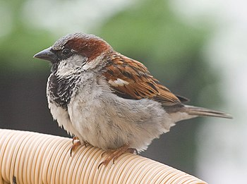 House Sparrow, a bird of urban areas which was...