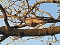 Passeriformes - Turdus viscivorus - 1.jpg
