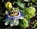 Passiflora caerulea, A Guarda, 04.jpg