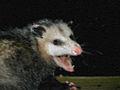 Pastel Possum.jpg
