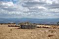 Pastoralisme Macomer.JPG