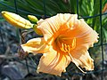 Peach Daylilies on fenceline - 9312365595.jpg