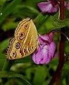 Peacock Pansy Junonia almana by Dr. Raju Kasambe DSCN9491 (1).jpg