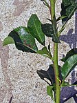 Pear leaves with stemphylium vesicarium.jpg