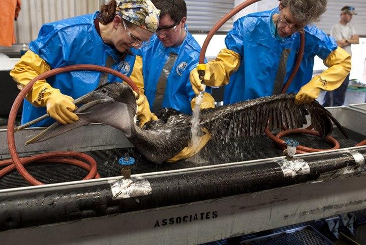 Pelican wash from oil spill Louisiana 13 Dawn IBRRC 2010.05.04 B6X2141