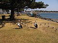 Pelicans ^2 at Port Macquarie - Taken on the Wednesday, 16th September 2009 at 12-33pm. - panoramio.jpg