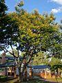 Peltophorum dubium - flowering (8459573215).jpg