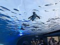 Penguin fly in the sky Sunshine Aquarium 1.jpg