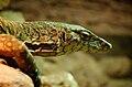 Perentie Lizard Face.jpg