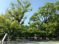 Pergola of wisteria floribunda and camphor trees in Munakata Grand Shrine (Hetsu Shrine).JPG