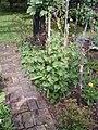Perilla frutescens (L.) Britton (AM AK323039-2).jpg