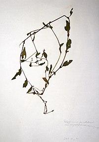 Persicaria punctata BW-1979-0914-0517.jpg