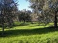 Pescia - Oliveto sul Colle del Lupo - panoramio.jpg
