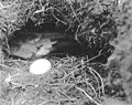 Petrel and egg in burrow on Carroll Island, June 1907 (WASTATE 1385).jpeg