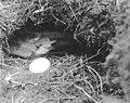 Petrel and egg in burrow on Carroll Island, June 1907 (WASTATE 1385).jpeg