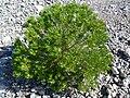 Peucephyllum schottii 4.jpg