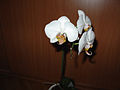 Phalaenopsis2.jpg
