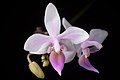 Phalaenopsis equestris (Mindanao, Philippines) (Schauer) Rchb.f., Linnaea 22- 864 (1850) (35301324942).jpg