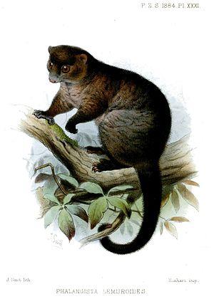 Lemur-like ringtail possum - Image: Phalangista Lemuroides Smit