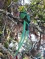 Pharomachrus mocinno - Parque Nacional Los Quetzales 01.jpg