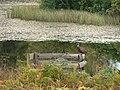 Pheasant on shooting butt - geograph.org.uk - 580551.jpg