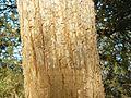 Philenoptera violacea Kruger-NP bark.jpg