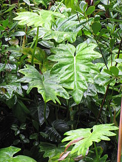 Philodendron lacerum.jpg