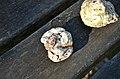Phosphatières du Cloup d'Aural - 20140925 - Phosphate.jpg