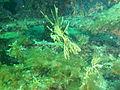 Phycodurus eques P2023144.JPG