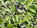 Pied (Jacobin) Cuckoo (29777506073).jpg