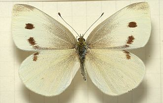 Pieris rapae - Female