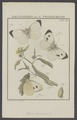 Pieris - Print - Iconographia Zoologica - Special Collections University of Amsterdam - UBAINV0274 003 02 0016.tif