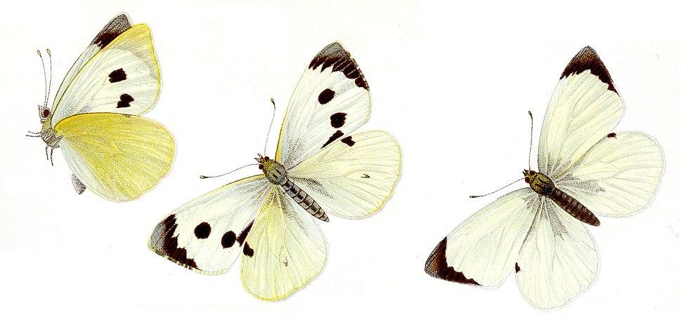 Pieris brassicae, especie tipo do xénero Pieris, o nominal da familia.