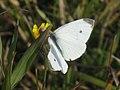 Pieris rapae - Small white - Репница (40281853205).jpg