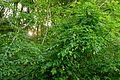Pimpernussbaum 2245.jpg